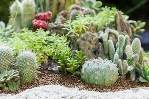 kaktusväxt foto
