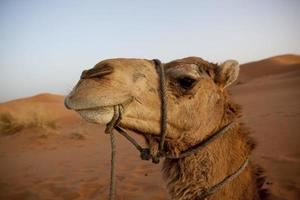 sahara kamel foto