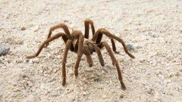 öken tarantula foto