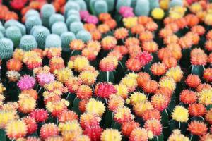 färgglad kaktus. foto