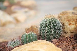 kaktus i trädgården foto
