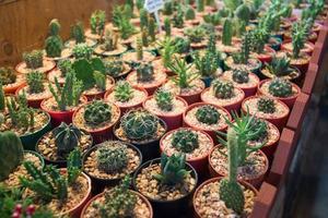 bild av vacker kaktus i kruka i trädgården foto