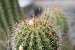 på nära håll av spindelnät täckt kaktus