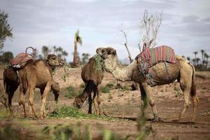 dromedarer i västra sahara foto