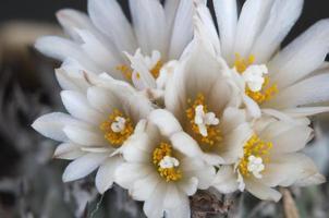 blommande kaktus turbinicarpus macrochele foto