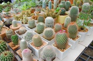 kaktusväxt i blomkruka foto