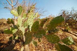 platt kaktus med långa taggar som växer på torr mark foto