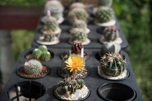 närbild av kaktusblomman foto