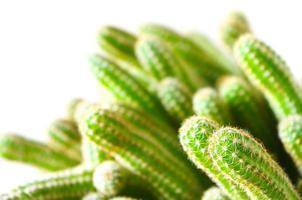liten kaktus foto