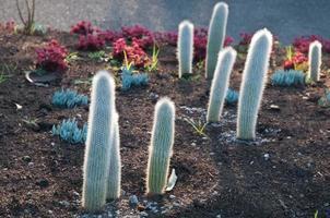 taggiga små kaktusträd på kvällen foto