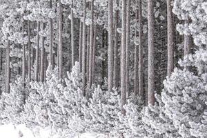 skog frost foto