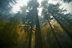 redwood skog