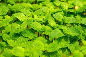 mintplantor skog foto