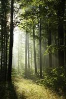 dimmig skog i gryningen foto