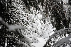 liten gran i snöig skog foto