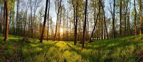 vår skog panorama med solen