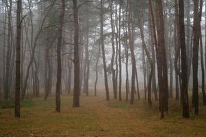 tallar i skogen med morgonen foto