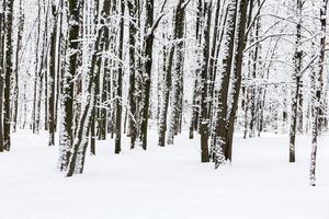 bokträd i snöig skog foto