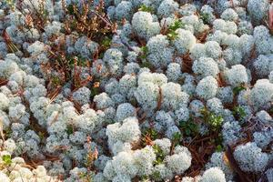 cladonia stellaris lav på marken i skogen foto