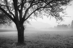 enda träd vid dimmig dimmig skog foto