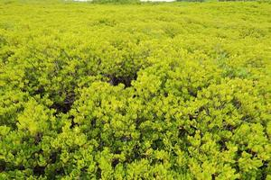 mangroveträd av gaffeltrådskog foto