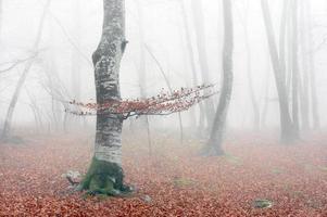 bokskog på hösten med dimma foto