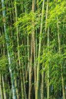 stor färsk bambulund i skogen foto