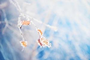 rimfrost på trädet i vinterskogen.