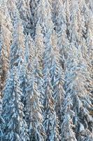granskog med snö på vintern foto