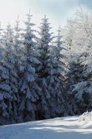 snötäckt vinterskog foto