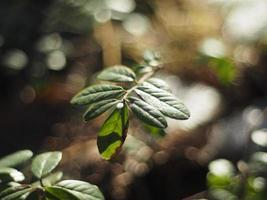 tranbär i skogen foto