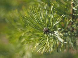 kvist av tall i skogen foto