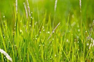 gräs med dagg i morgonskogen