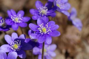 första vårblå blommor, violer i skogen foto