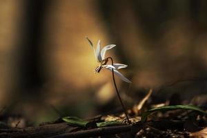vildhundens tandviolett i skogen foto