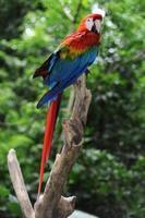 papegoja arara macao på den tropiska skogen foto