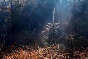 solstrålar över gran i dimmig skog foto