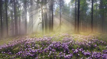 magisk karpatisk skog vid gryningen foto