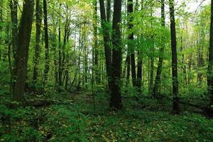 grön skog och blå himmel. landskap. foto
