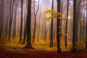 gula lövträd i dimmig skog