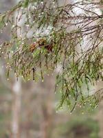våta trädgrenar i vinterskog
