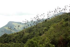 Cocora Valley och palm skogar foto