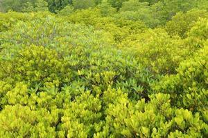 mangroveträd av gaffeltrådskog