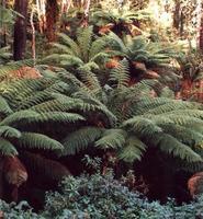 träd ormbunkar foto