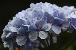 lila blommor foto