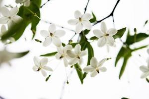 moke (wrightia religiosa) blommor