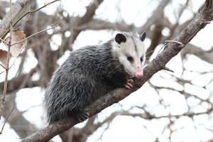 opossum i ett träd foto