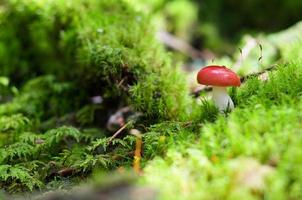 röd svamp, svamp på mossa i skogen foto