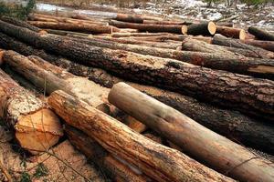 avverkade trädstammar foto