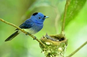 svartnackad monark eller så kallad svartnäppad blå flugsnappare (hyp foto